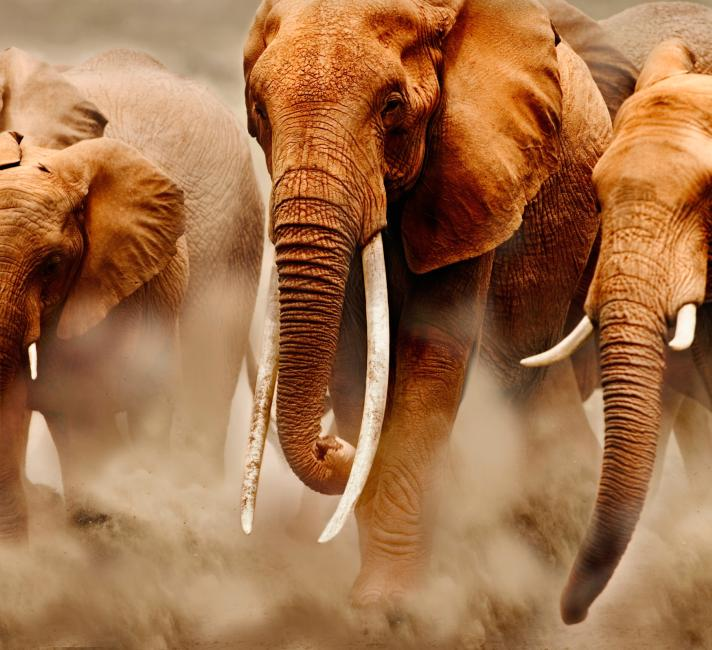 Herd of African elephants. Amboseli National Park, Kenya