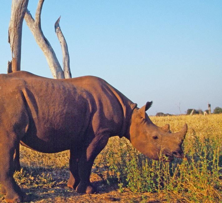 A game warden guarding a black rhino, Matusadona National Park, Zimbabwe