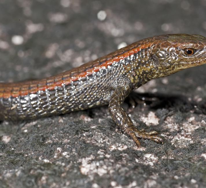 Mountain-top lizard