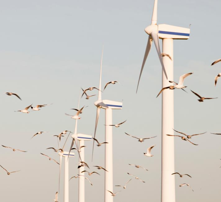 Wind turbines on the west coast of cumbria near workington, Cumbria, Uk, with a flock of Herring Gulls (Larus argentatus) flying past.