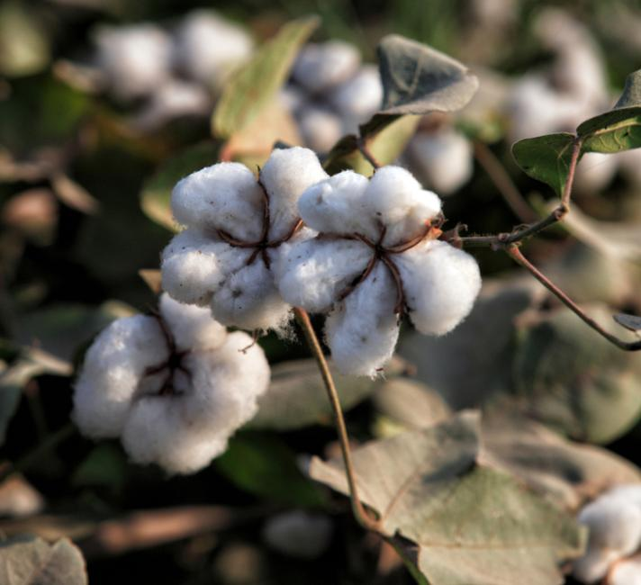 Cotton plant © Asim Hafeez / WWF-UK