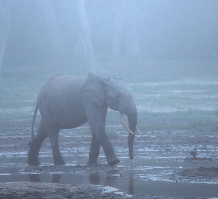 African forest elephant in the mist