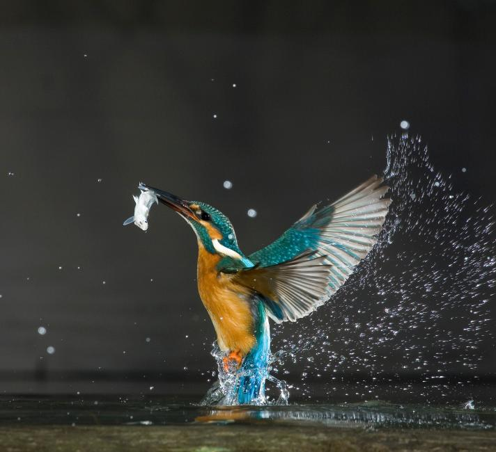 A kingfisher is pictured with a fish in its beak