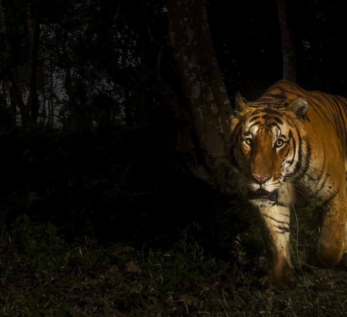 Bengal tiger © Christy Williams / WWF