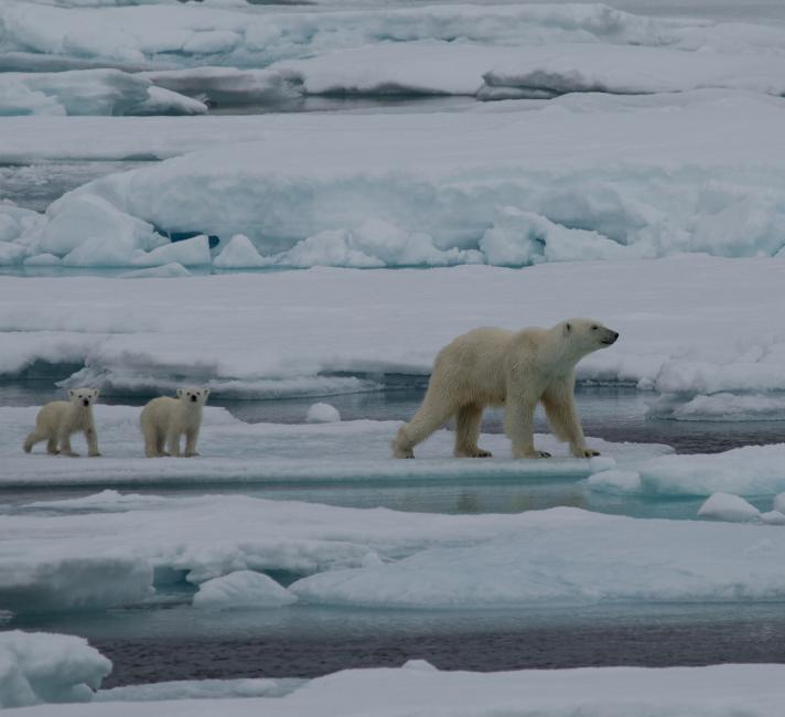 Polar Bear (Ursus arctos maritimus) mother and two cubs playing around iceberg.