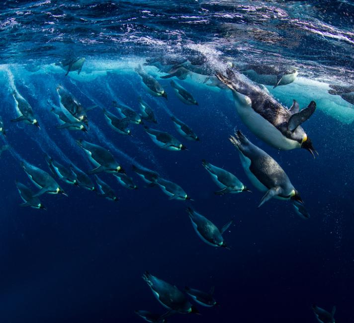 Emperor penguins (Aptenodytes forsteri) diving, Ross Sea, Antarctica. Picture taken from the Mario Zuchelli Base.