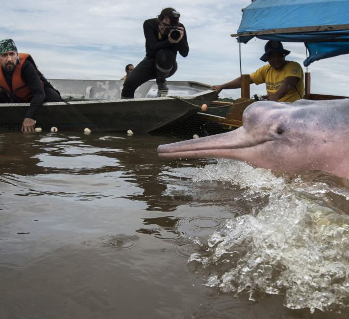 The team manages to net a group of four Amazon River Dolphins in Quebrada Valencia, a small tributary of the Loretayacu River Amazonas, Colombia.