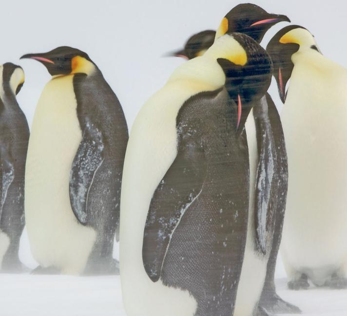 Emperor penguin adults in a snow storm