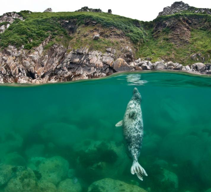 Lundy Island seal photo flipped