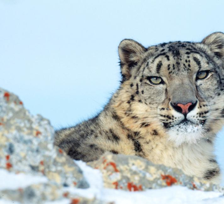 Uncia uncia Snow leopard Rocky Mountains in winter Montana, United States of America (A captive trained animal used for photography and filming) © Klein & Hubert / WWF