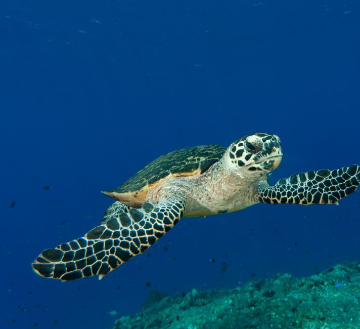 Marine turtle swimming