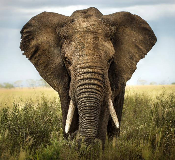 African elephant (Loxodonta africana) on the savanna in Africa