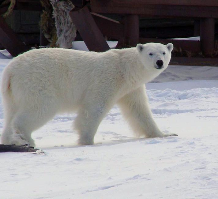 Polar bear walking in village of Amderma, Russia