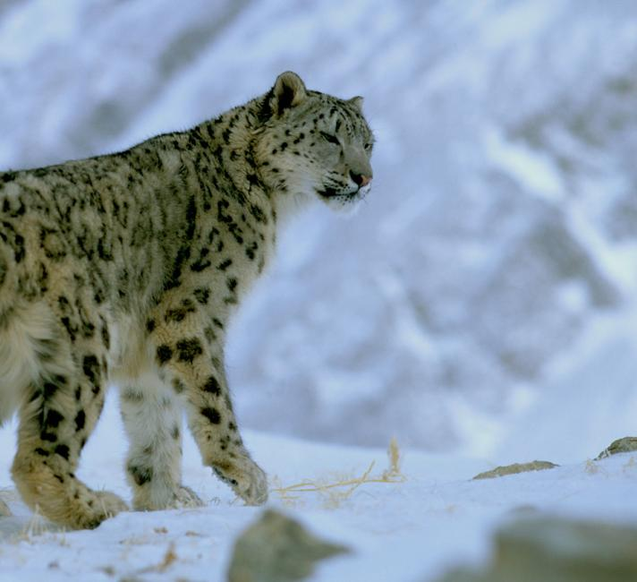 Snow leopard in snow on a mountain