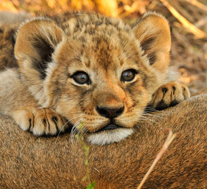 Lion cub resting on mom in the savanna in Africa