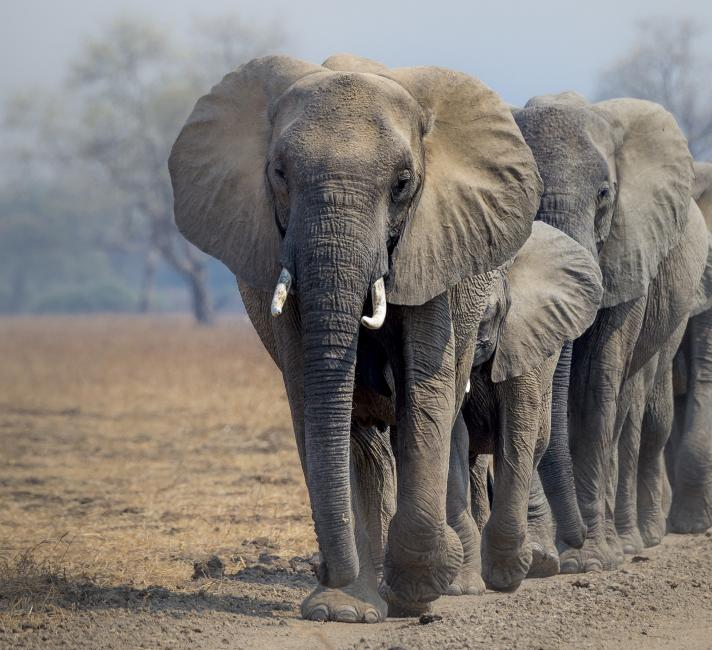 African elephants © Richard Barrett / WWF-UK