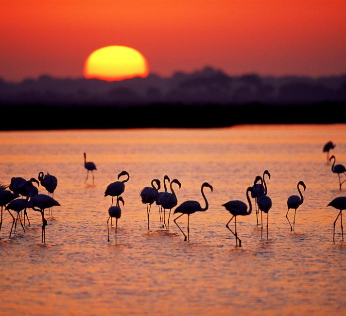 A group of Greater flamingos (Phoenicopterus ruber) in a marsh, at sunset, Coto Do̱ana National Park, Andalucia, Spain.