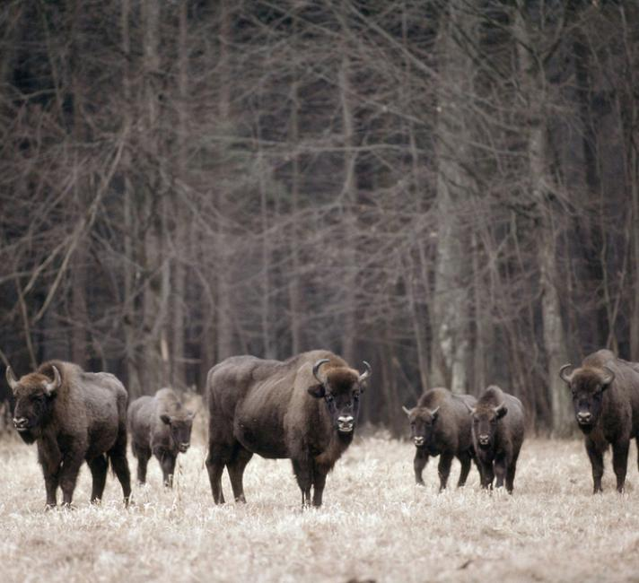 Bison herd, Bialowieski National Park, Poland - © Klein & Hubert / WWF