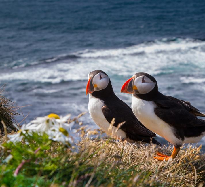 Picture of two atlantic puffins by the ocean