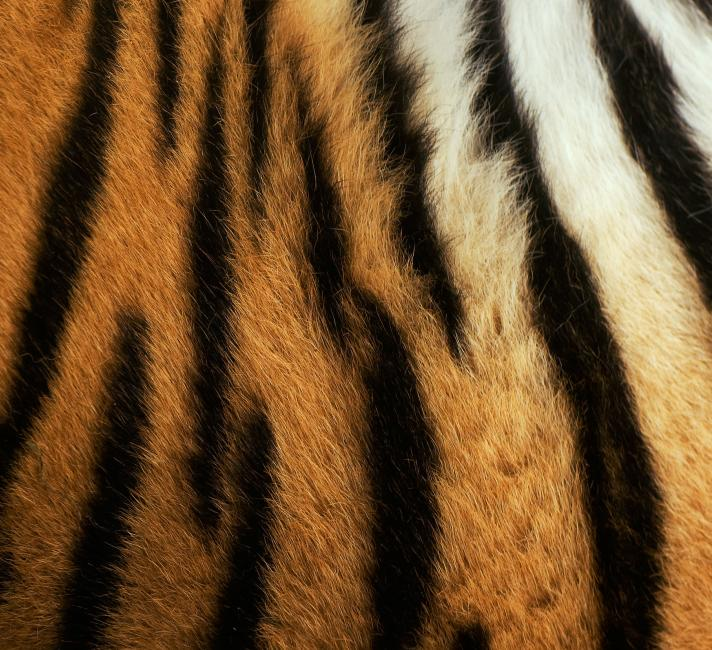 Siberian tiger ( Panthera tigris altaica) detail of patterns on flank, captive.
