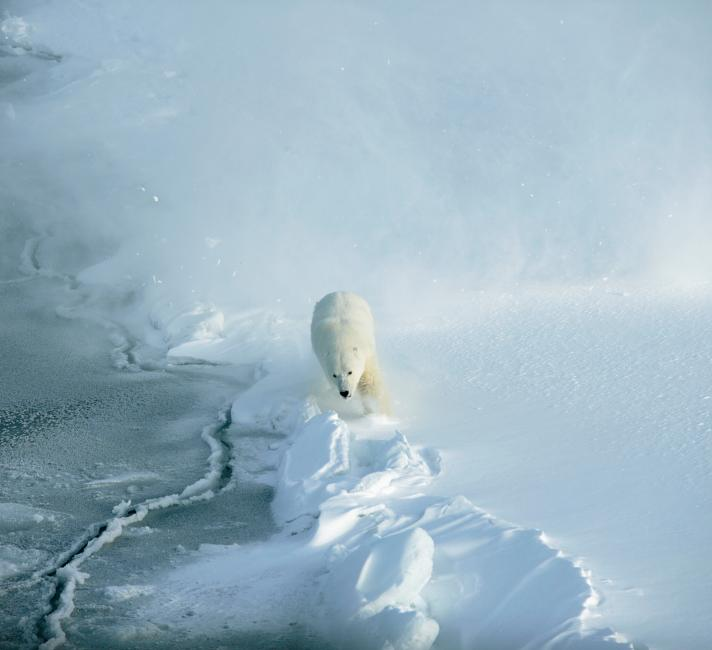 A polar bear (Ursus maritimus), pictured just before being darted with a tranquiliser. Svalbard, Norway.