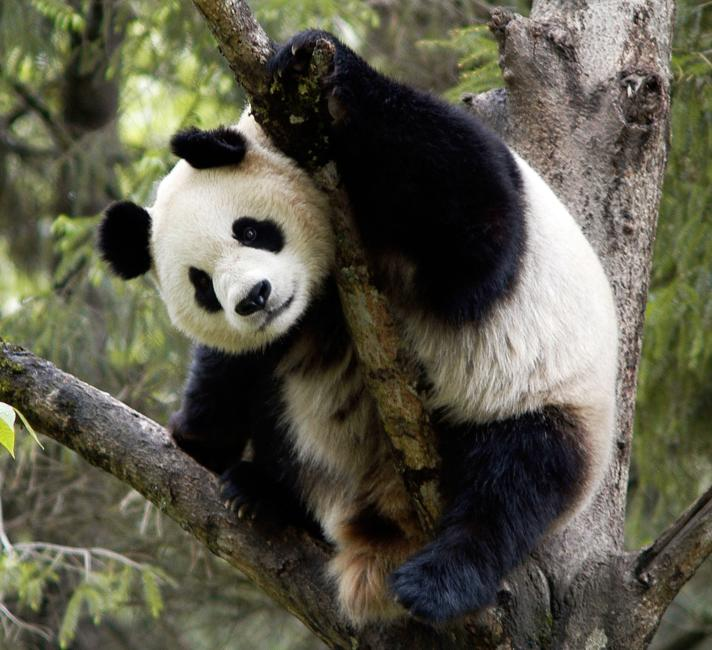Giant panda in tree, Wolong Nature Reserve, China. © Bernard De Wetter / WWF