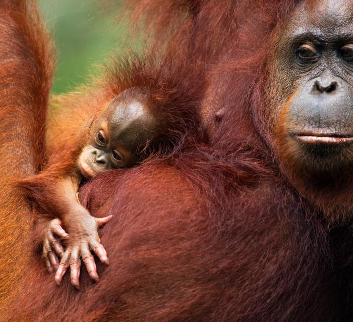 LPR YOUTH Bornean Orangutan female 'Tata' and her unnamed baby aged 2-3 months © naturepl.com / Anup Shah / WWF