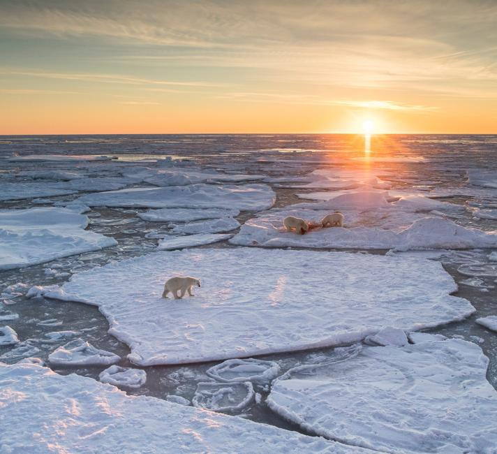 Polar bears walking across melting ice