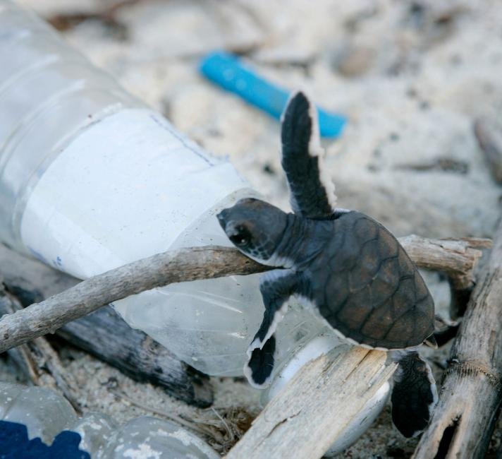 Baby turtles hatch on Juani Island and have to climb over rubbish strewn on the beach .WWF is actively engaged in maximising the conservation of turtles here by employing Nassoro Shahame since 2001 as the village turtle monitoring officer. Nassoro is paid the equivalent of US$ 30 a month to be a point of contact for the village for turtles as well as to monitor and help baby turtles hatch to the sea.Two species of turtle nest on Mafia, mostly greens (Chelonia mydas) and and few hawksbills (Eretmochelys imbr