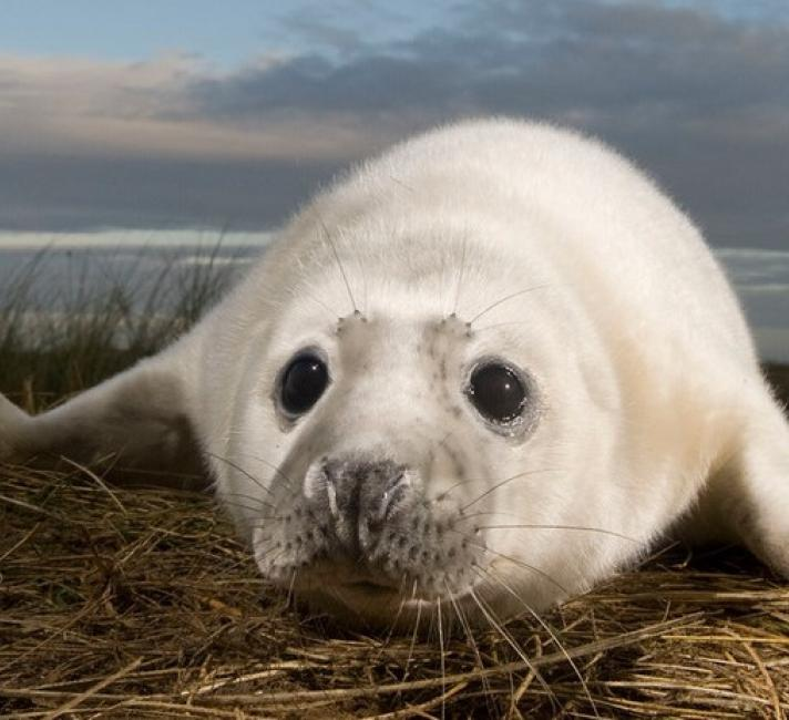 Grey seal pup on UK beach