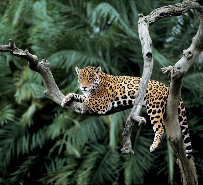 Top 10 Facts About Jaguars