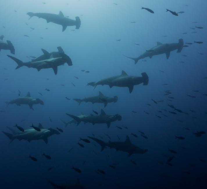 A group of scalloped hammerhead sharks