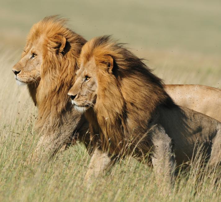 Two male lions at the Senegeti National Park, Tanzania