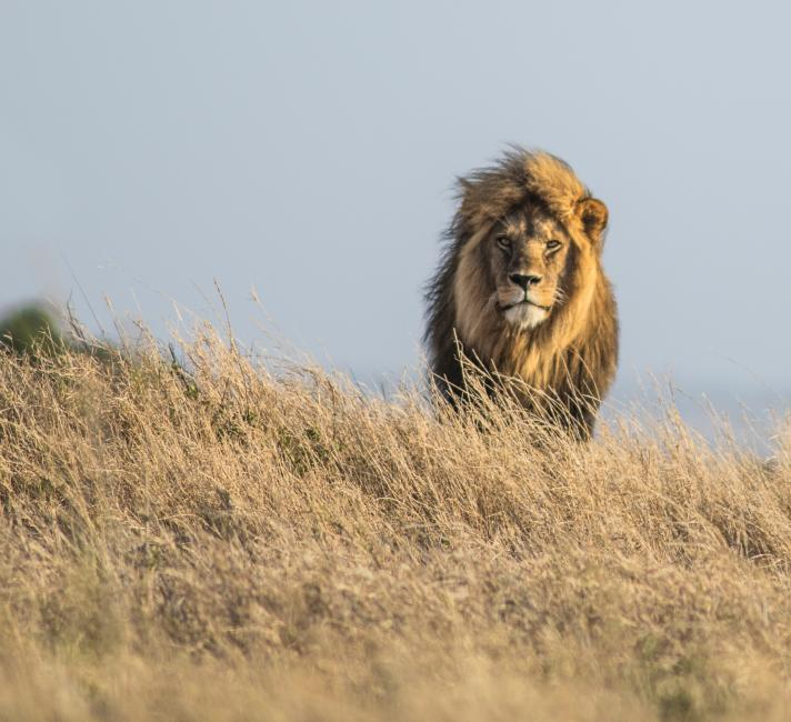 Lion (Panthera leo) on the Namiri Plains in the Serengeti, Tanzania