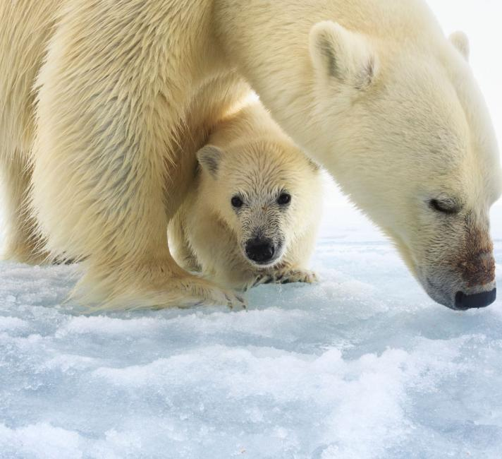 Polar bear female with a single young cub
