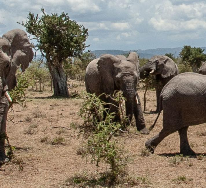 Collared African Elephant herd