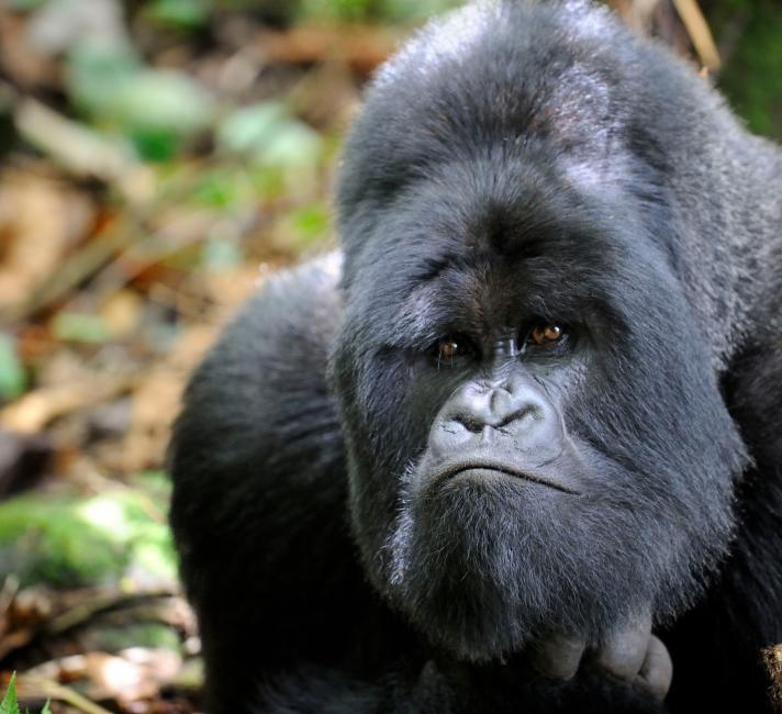 male silverback mountain gorilla (Gorilla gorilla beringei) looking curious, Volcanoes National Park, Rwanda, Africa