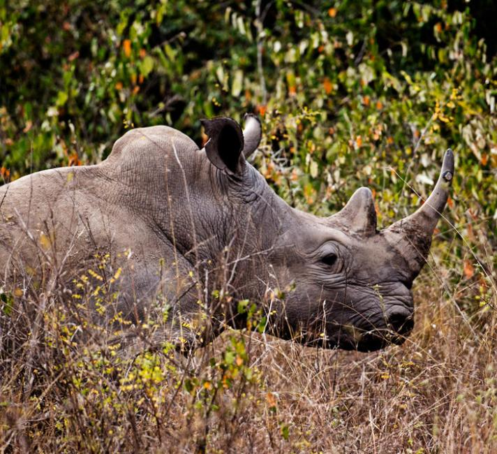 A white rhino in Nairobi National Park.