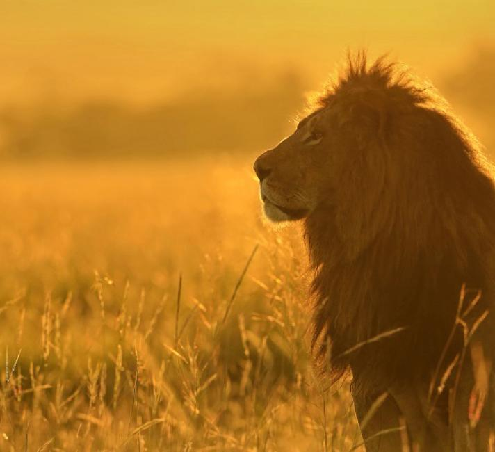 African lion in tall grass