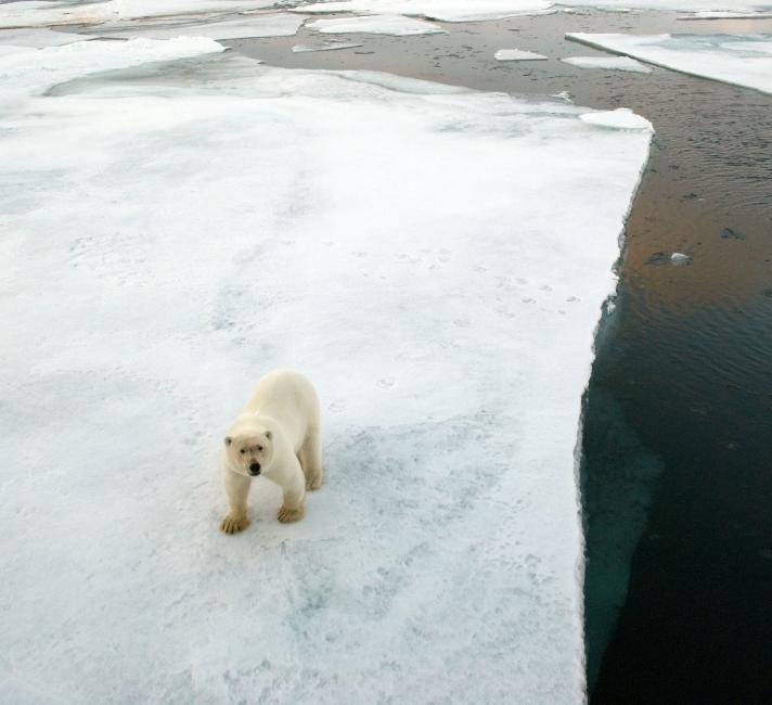Aerial view of Polar bear (Ursus maritimus) walking on an ice floe