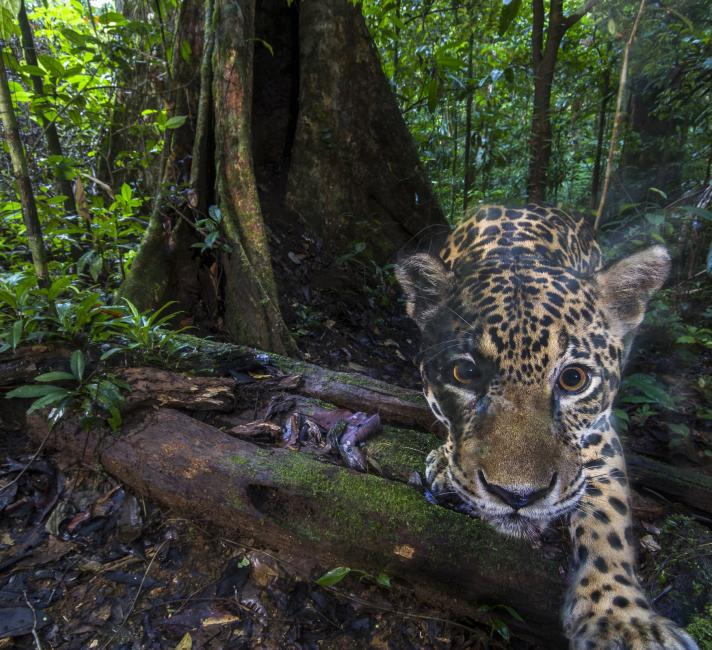 A jaguar (Panthera onca), photographed deep inside the Nouragues Natural Reserve
