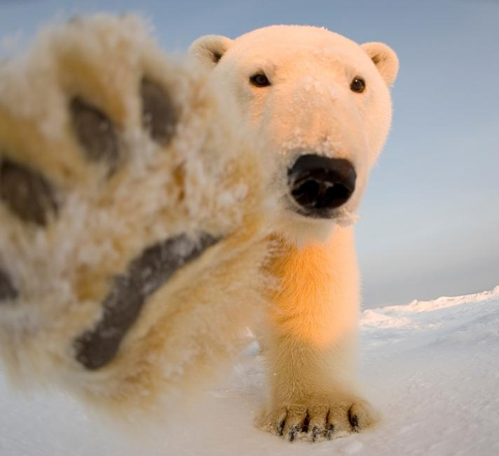 Polar bear with paw out
