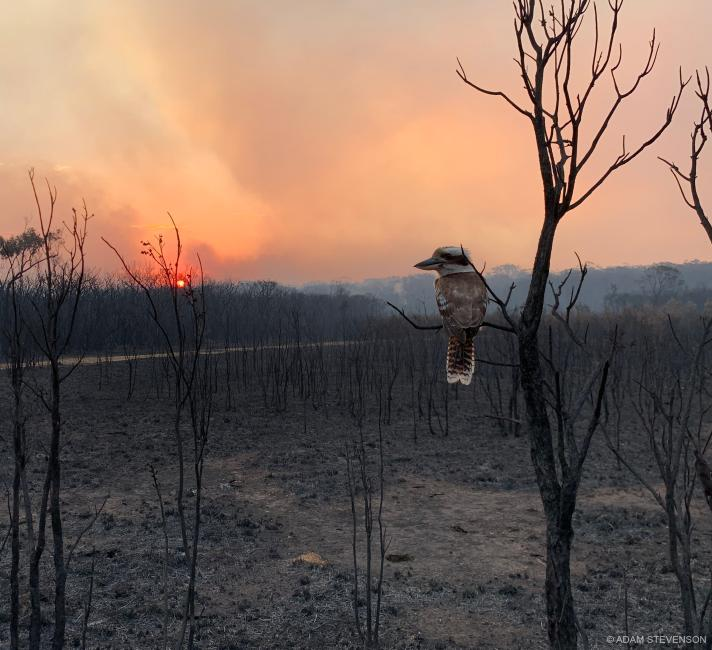 Kookaburra looking on its destroyed home after a bushfire passed, Wallabi Point, NSW.