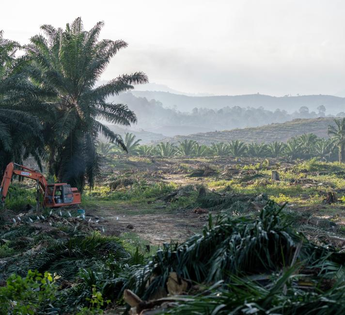 Egrets surround a digger working on an oil palm plantation at Sabah Softwoods in the state of Sabah, Borneo