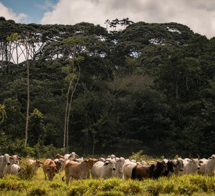 Cattle ranch with remaining forest in the background, municipality of Calamar, Guaviare Department, Colombia.