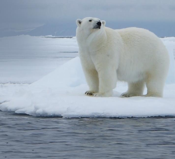 Polar bear on an ice island