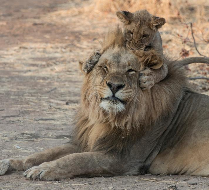 Lion (Panthera leo) cub playing with adult male, Namibia