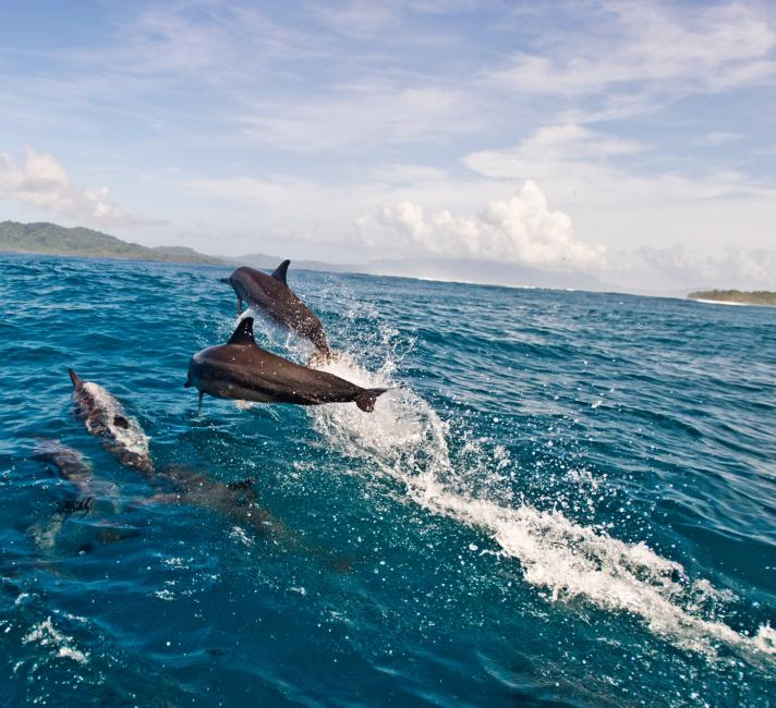 Spinner dolphins swimmming off the coast of Tetepare, Solomon Islands.