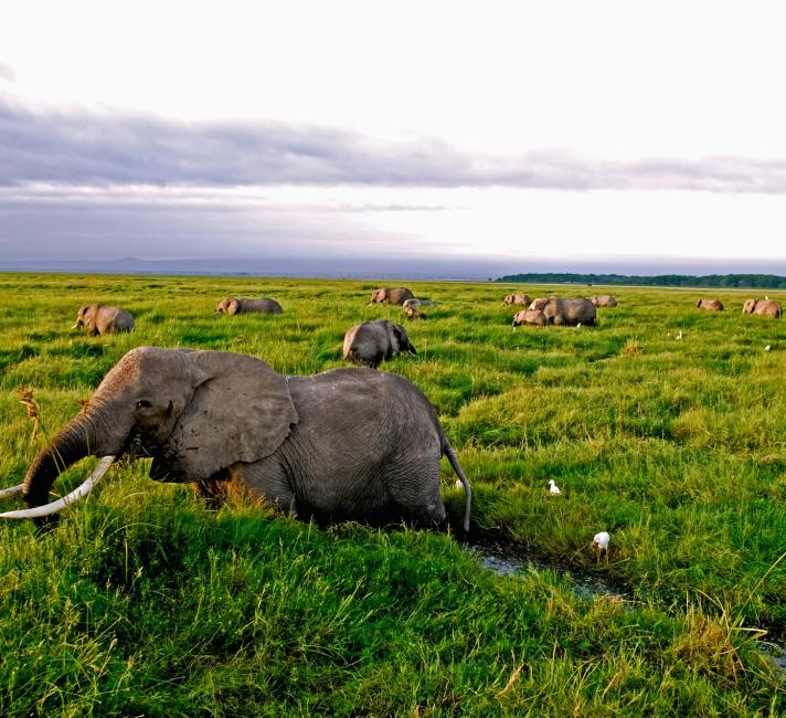 African elephant (Loxodonta africana), herd feeding in the Amboseli swamp.