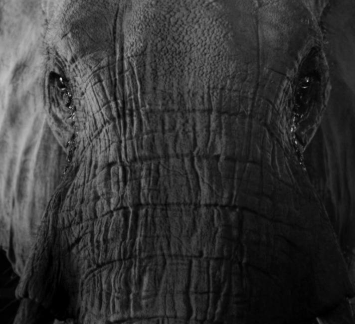 Elephant head close up